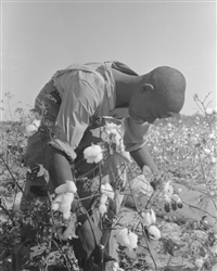 Boy Picking Cotton, Arkansas, 1938