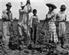 Working in a Field, Natchitoches, LA, 1940
